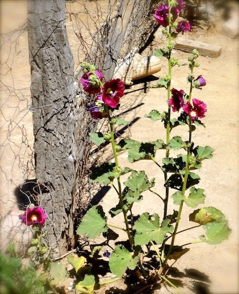 Some more of Violet's hollyhock
